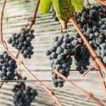 VIDEO | Tänu soojale suvele korjati Tartumaal rikkalik viinamarjasaak