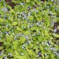 Istutage taimed paarikümnesentimeetrise vahega, sest ta katab võsunditega kiiresti kogu ala.