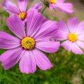 Kõige tavapärasem sort 'Sensation' on romantiliselt roosa, kuid võib olla ka punaste või valgete õitega.