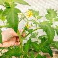 Praegu olulised aiatööd: kahjurite hävitamine, muru hooldamine, tomatitaimede lõikus, taimede toestamine