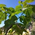 Viltja printsessipuu kasvatamisel sai Helen inspiratsiooni Maakodust.