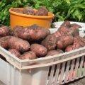 Eestlane sööb aastas vaid 82 kilo kartulit