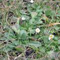Eelmisel reedel võis Tallinnas lauluväljaku kõrval kõndides näha  pesakonniti õitsevaid lilli, nagu oleks juba kevad käes.