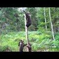 ВИДЕО | В Ярвамаа медвежата забрались на столб, чтобы полакомиться солью