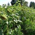 Saaremaa päevalillepõld, kus lisaks harilikule päevalillele kasvas ka uustulnuk tuule-päevalill. Pildil vasakul, väikese õiega õitsev taim.