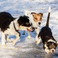 Teiste koertega mängimine ja pallimängud jääl või muul libedal pinnal peaksid olema täielikult välistatud.