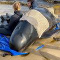 Austraalia Tasmaania saarel on surnud 380 rannale kinni jäänud vaala