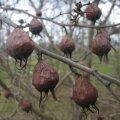 Astelpihlakas ehk mispel pakub marju talvelgi