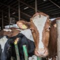 """""""Vaja on hoolivaid hingi, kes lüpsavad ära 21 000 lehma,"""" panevad põllumehed valitsusele südamele."""
