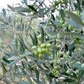 Hanila ärimehed ostsid oliivisalu