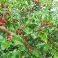 Kuressaarest saadud mooruspuu viljad värvumise alguses (6. juulil 2020).