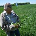 Sänna Põllumehe OÜ põlluseminaril luges Mart Timmi taliodra põllul võrseid – ühest seemnest on kasvanud ligikaudu 20 võrset.