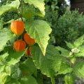 Tomati tundmatut sõsarat füüsalit on kerge kasvatada