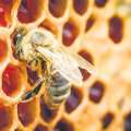 Taruvaiku kasutavad mesilased kärjekannude puhastamiseks, desinfitseerimiseks, kõiksugu pragude täitmiseks, lennuava kitsendamiseks ja tarru sattunud kahjurite katmiseks. Inimesed on kasutanud taruvaiku aastatuhandeid nii raviks.