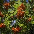 Замечайте красоту: алые кисти рябины в монохроме эстонской осени