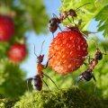 Sipelgad aias.