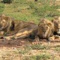 400 lõvi terve Lääne-Aafrika peale on juba väljasuremise lähedane number
