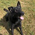 ФОТО | Заслуженную служебную собаку Идаской префектуры проводили на пенсию