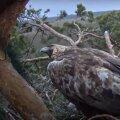 Esmaspäeval pesalt ära käinud kaljukotkas Helju nokkis pärast naasmist oma muna puruks.