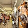 Seda, kas tori hobune on raskema- või kergematüübiline, on pelgalt näo järgi raske öelda.