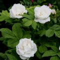 VIDEO: Tõelistele roosigurmaanidele! Vanemaednik Else Liventaal tutvustab lähemalt Kanada roose