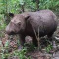 VIDEO: Indoneesias sündis haruldane Sumatra ninasarvik
