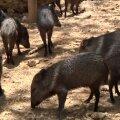 VIDEO: Majanduskriisis Venezuela suurimas loomaaias valitseb nälg, surnud on juba 50 looma
