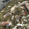 Hiinas jõest leitud sead