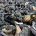 Ümarmudilaid veetakse Pärnusse kokkuostu koormaautoga ja müüakse maha näiteks Ukrainasse.