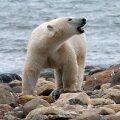 Kanadas tappis jääkaru oma lapsi kaitsnud mehe
