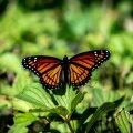 В Арктике из-за потепления климата появились бабочки