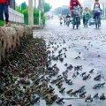 KONNAD ENNUSTASID MAAVÄRINAT: Mõni päev enne laastavat 2008. aasta Hiina maavärinat pagesid tuhanded konnad linnast.