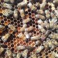 Leia pildilt täpiga mesilasema, tumedam isasmesilane, töömesilased ja vaglad.