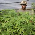 Ekspertiis tunnistas tulekahjus leitud taimed narkootiliseks