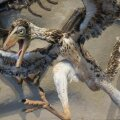 Archaeopteryx kunstniku nägemuses (Foto: Pixabay / Ron F.)
