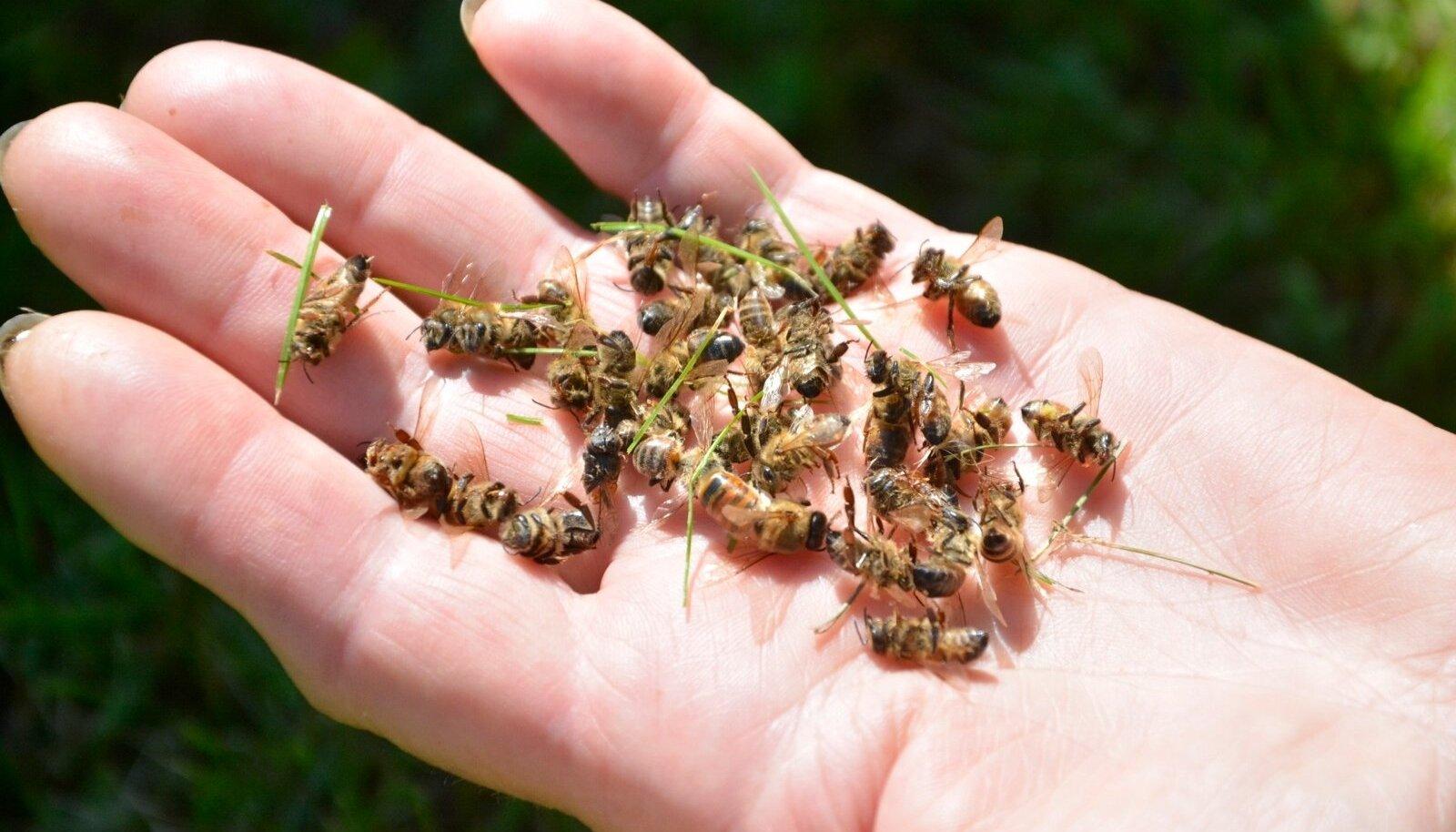 OÜ Artocarpus mesilas Lääne-Virumaal hukkusid suvel miljonid mesilased.