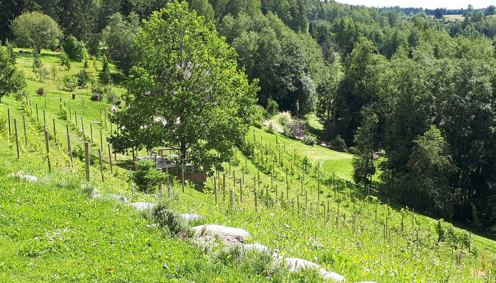 Valgamaalt leiab ka viinamarjaistandused