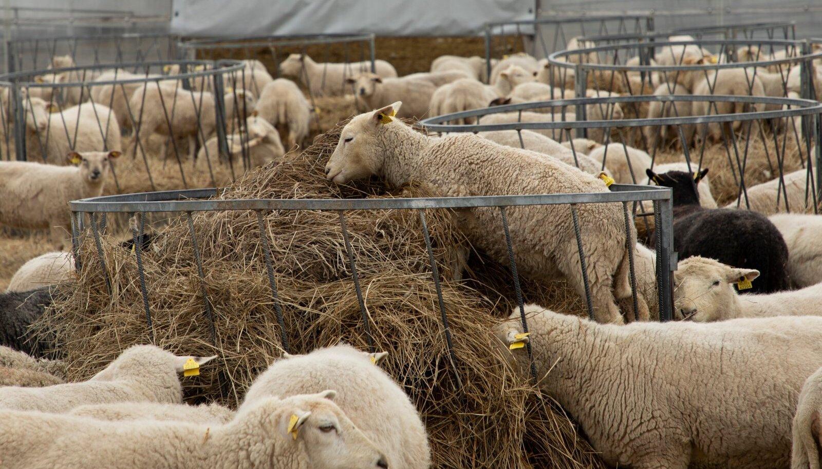 OÜ Kopra KarjamõisOÜ Kopra Karjamõis, lambad