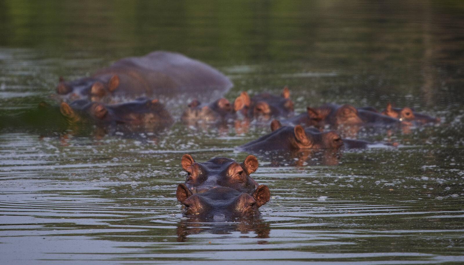 Jõehobud elavad jätkuvalt edasi ka Escobari kunagise rantšo kunstlikus järves. Pilt on tehtud selle aasta veebruaris.