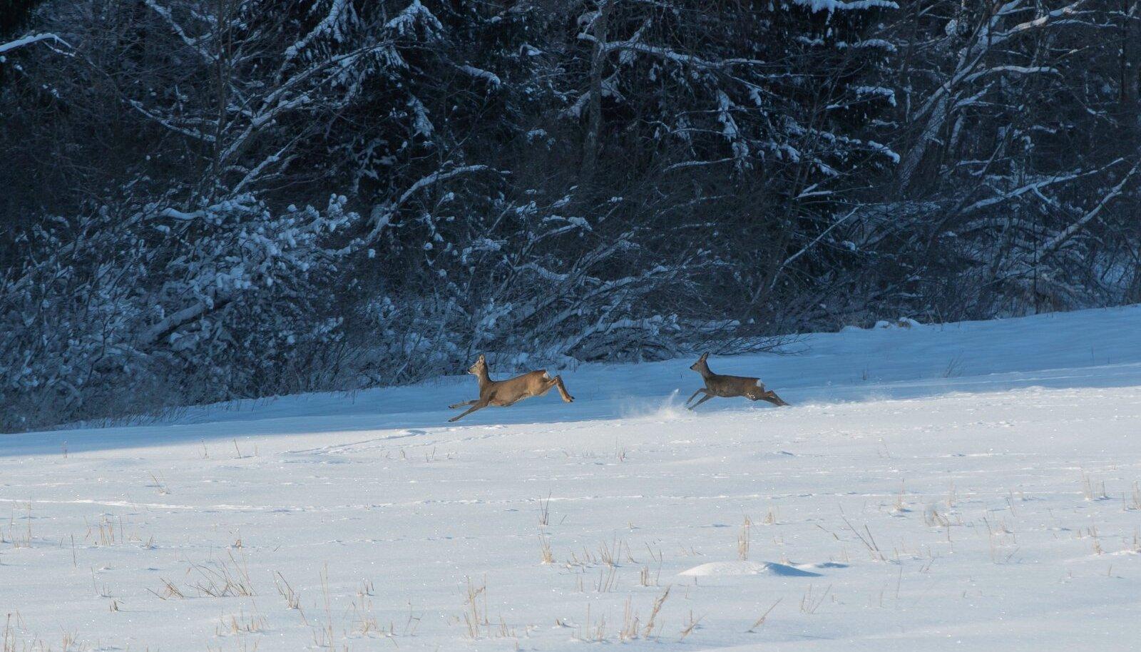 Külmad ja lumised talved mõjuvad metsloomadest kõige raskemini just metskitsedele.