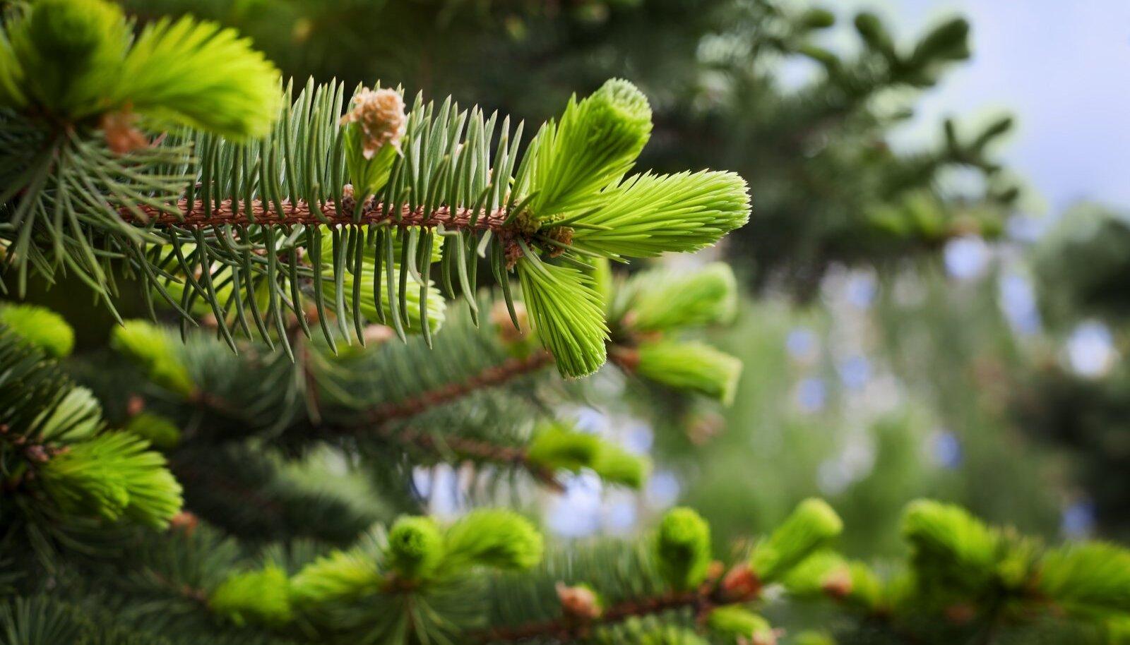 Kuusekasvudest saab kevadel tärkava looduse vitamiine ja energiat kõige esimesena.