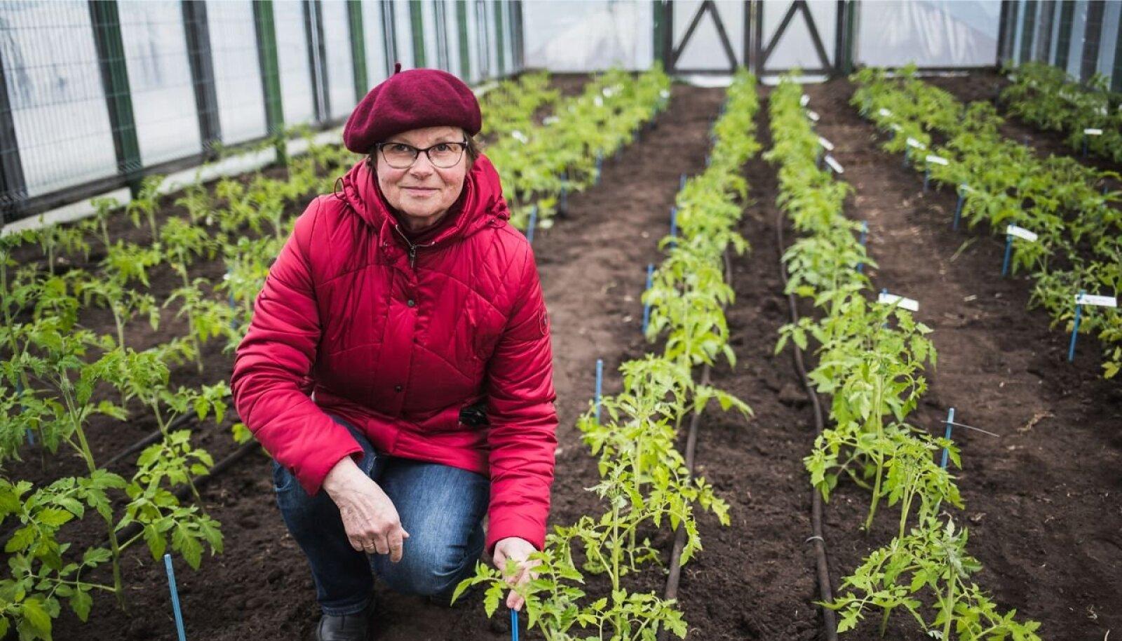 Ingrid Bender Eesti Taimekasvatuse Instituudi tomatikatsega.