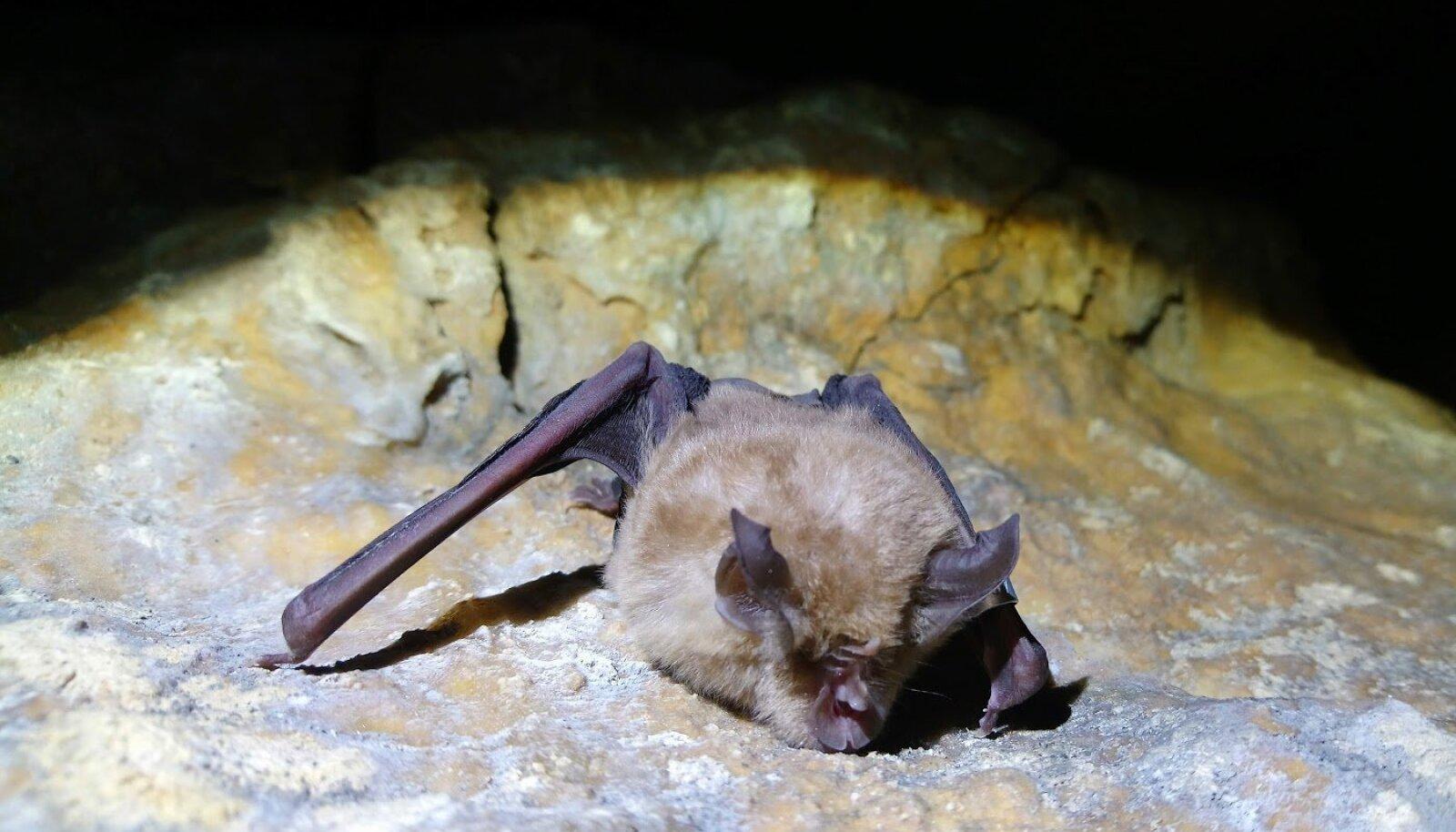 Sagarninalaste perekonda kuuluv nahkhiir (Foto: Wikimedia Commons / Rhinolophusferrumequinum)