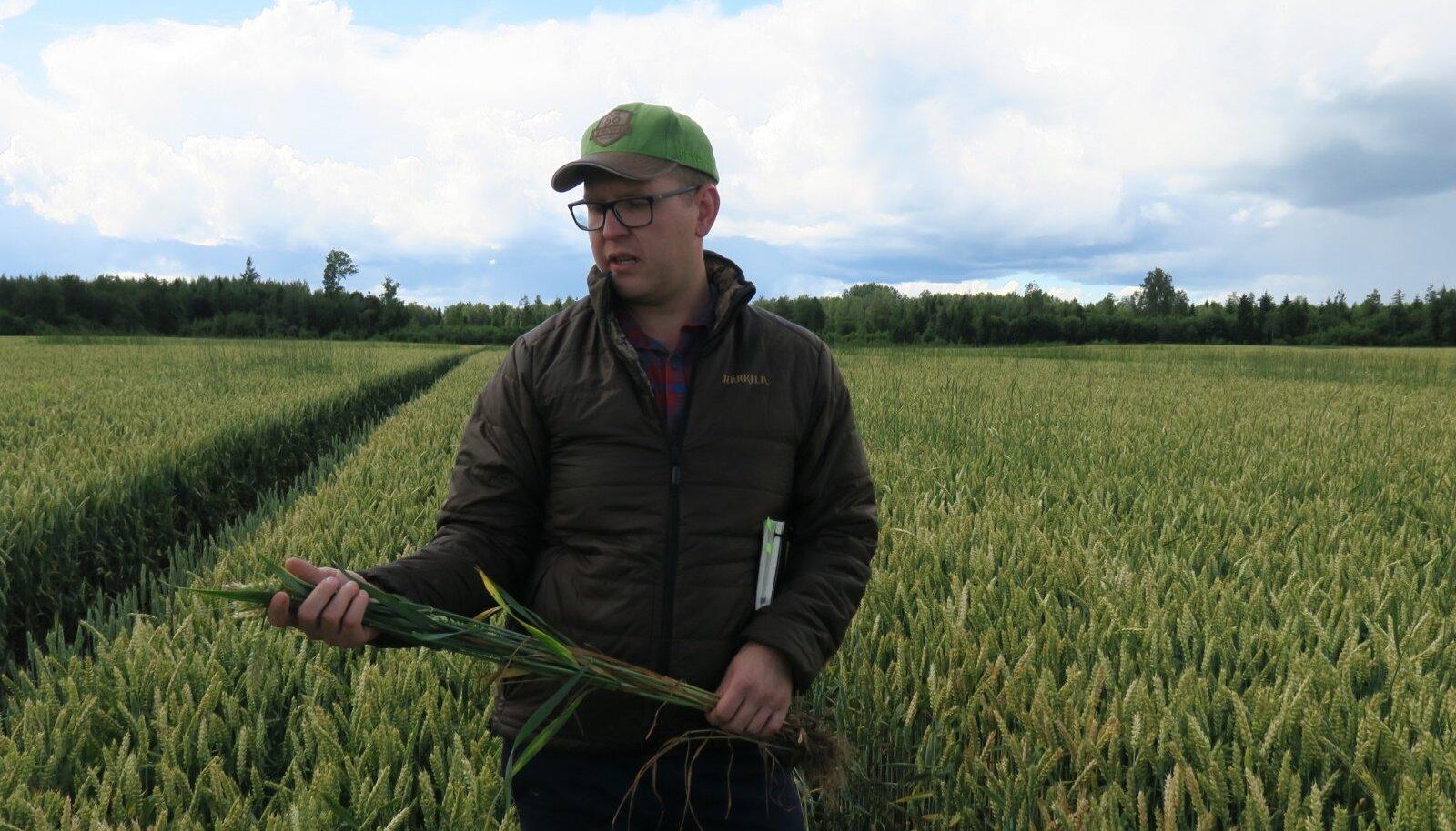Mulgimaa viljakad mullad sobivad nisukasvatuseks väga hästi, ja seda näitavad ka noore põllumehe Sven-Erik Lohu kõrged saagid.