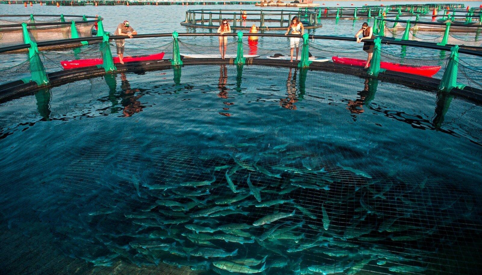 Külastajadsaavad heita pilgu otse kasvanduse sisemusse ja näha, kuidas sirguvad kallid meriahvenad.