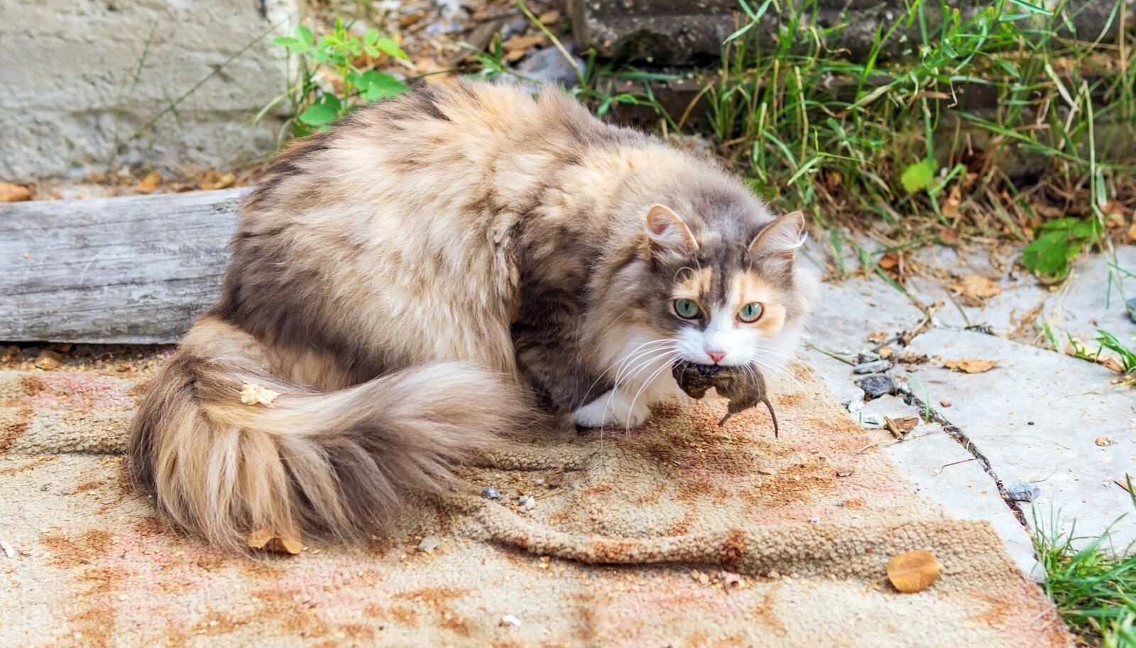 Parim hiirepüüdja on ikka kass.