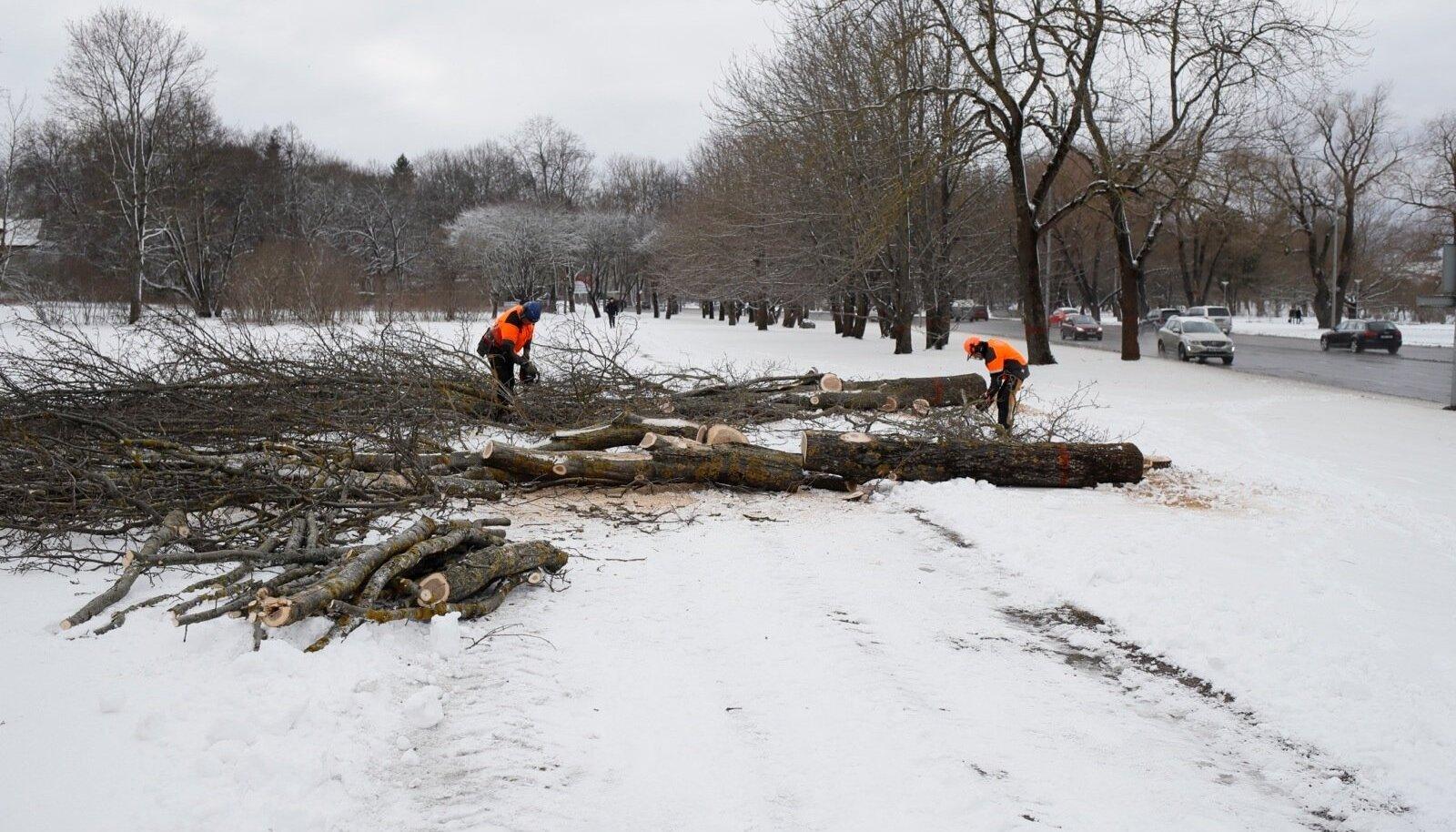 Puude mahavõtmine Reidi tee ehitusalal