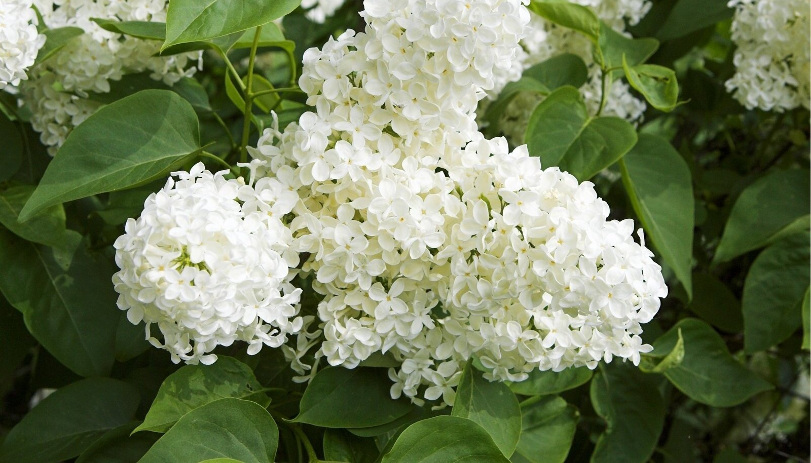 Lopsakad valged sireliõied lisavad aeda romantikat.