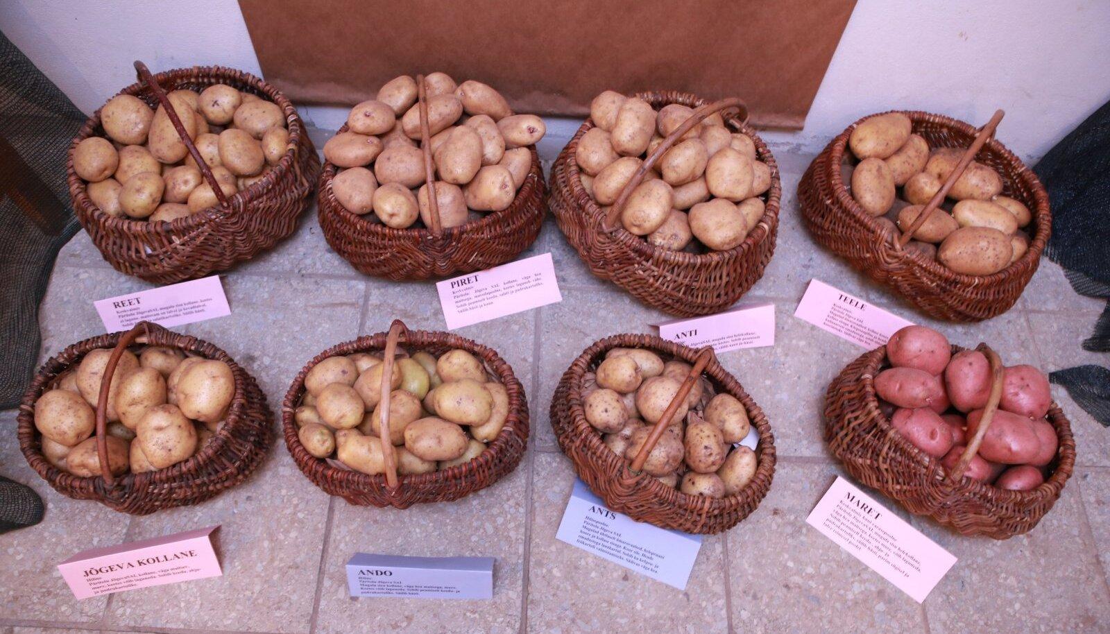 Eesti kartulisordid maaviljeluse instituudis Sakus.