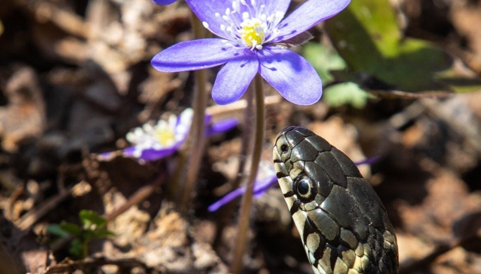 Kevadine nastik ja sinilill